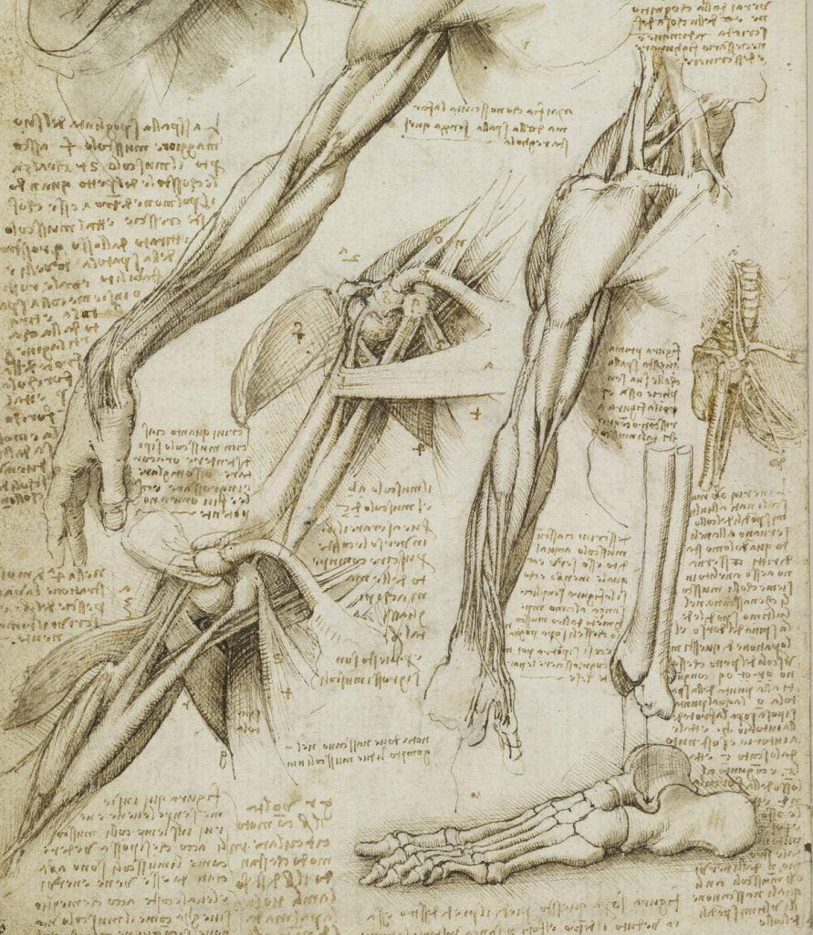 Leonard de Vinci, planche anatomique, Royal Collection, Londres. (détail)